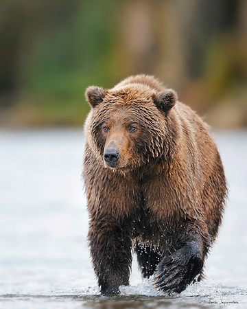 Grizzly at Brooks River