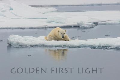 Male Polar Bear, Svalbard