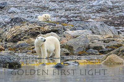 Female Polar Bear and Second year Cub, Svalbard