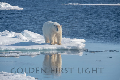 Female Polar Bear, Svalbard