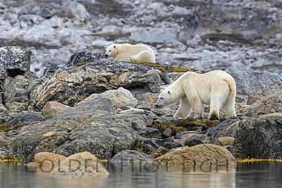 Female Polar Bear with Second year Cub, Svalbard