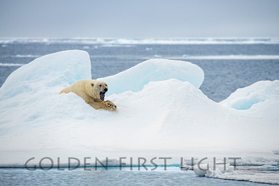 Male Polar Bear, Svalbard
