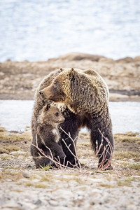 Grizzly & Cub