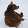 Young bear in snow
