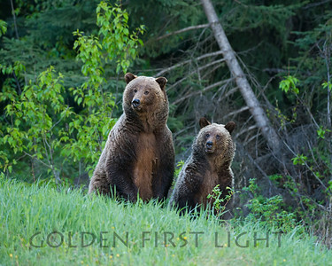 Grizzly Sow and Cub, Jasper National Park