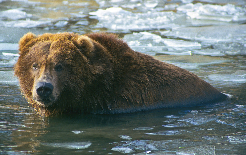 The grizzly is enjoying a bath in the middle of an ice-filled stream.   The setting sun hits his face and body which illuminates his beautiful reddish coat.