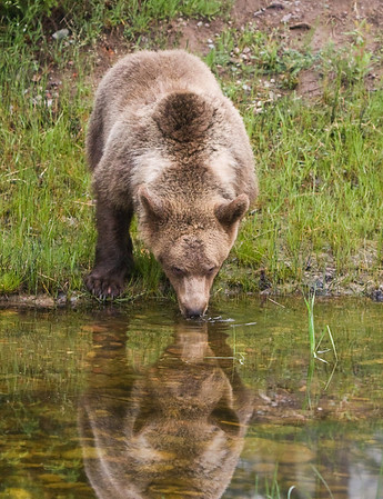 Captive grizzly watches the photographers as it gets a drink from this small pond.