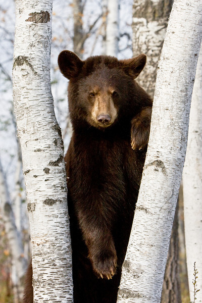 Black bear in a contemplative mood, between two paper-birch trees in Minnesota