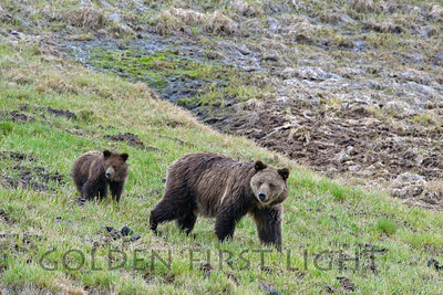 Grizzly Bear and Cub, Hayden Valley, Yellowstone National Park