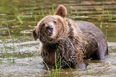A playful, quizzical, young grizzly shakes a whole lot of water out of the fur surrounding it's face. (captive)