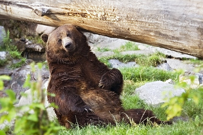 Skoki, this large male grizzly, grew up in Banff National Park in the early 1990's.  When he became too habituated to humans (thereby posing a safety risk) he was relocated to the Calgary Zoo, where he will live out his days.