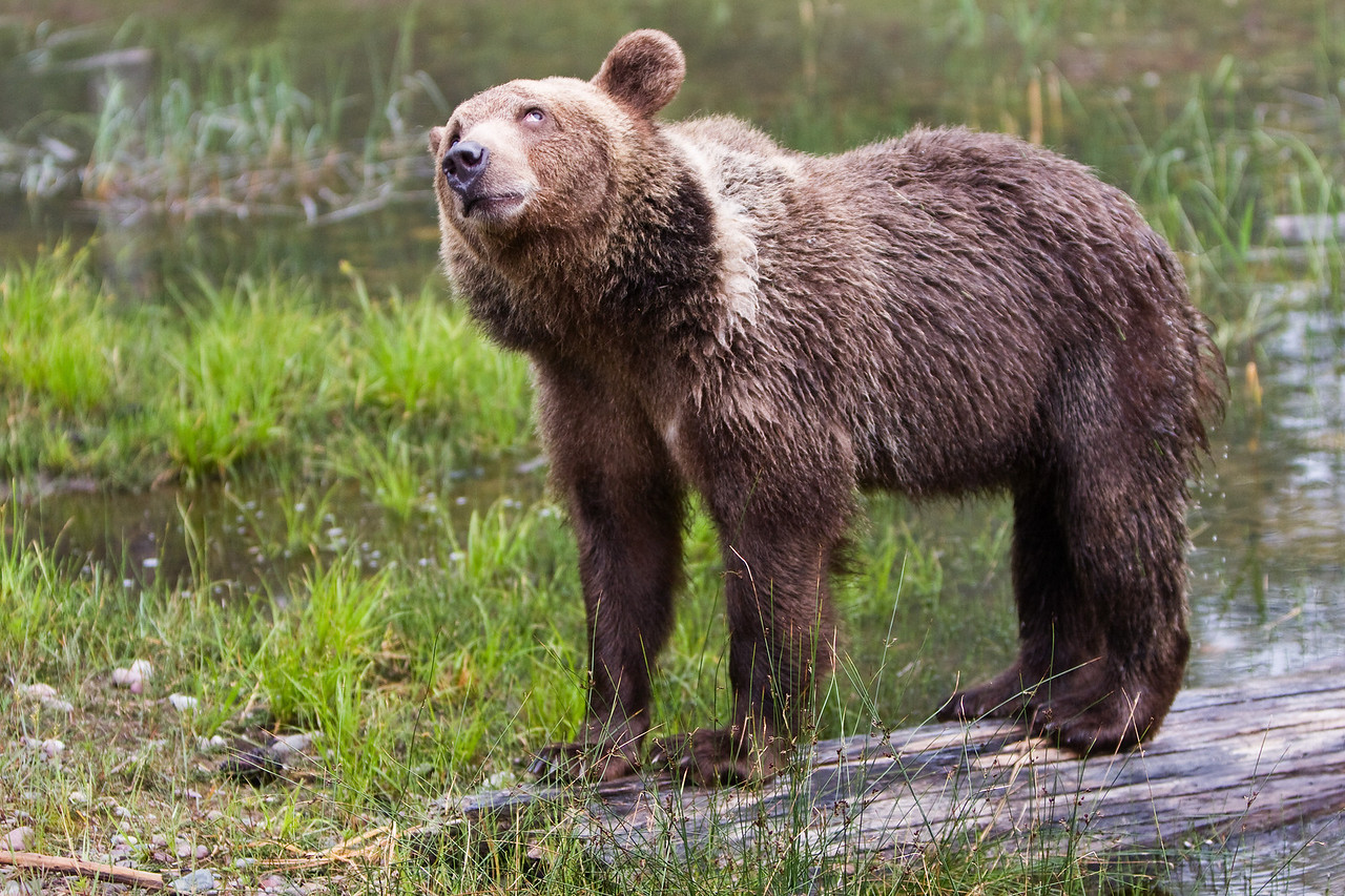 This young grizzly is distracted by something overhead.