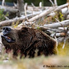 Bears :