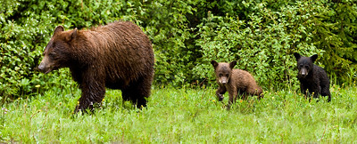 Monday June 22, 2009: This cinnamon phase black bear and her two young cubs were beside the Cameron Lake road in Waterton Lakes National Park.  I was able to pull over to the side of the road and watch for several minutes as they grazed dandelions, eventually walking past my car.  This photo was taken from inside my car - the safe place to be when you see road-side bears.