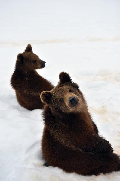 twin baby bears