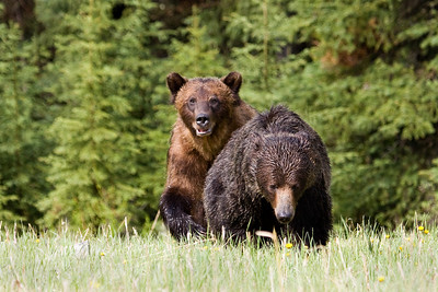 Highway 40, from Longview, over Highwood Pass and into the heart of Kananaskis Country is closed for the winter.  It re-opens each spring on June 15th (that was today!).  One of the first people driving that section of road in 2009, I was treated to this pair of grizzlies.