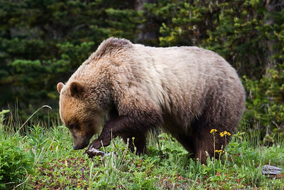 Sunday July 12, 2009: This grizzly bear - on HWY 40 in Peter Lougheed Provincial Park - south of Highwood Pass was feeding - in this shot it's looking under rocks for grubs and insects.