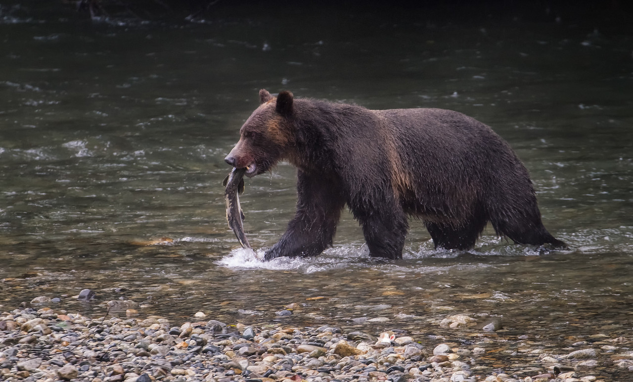 SEPTEMBER 3 2013: Took a tour out of Campbell River, BC with Aboriginal Journeys. Amazing time. This is the same grizzly as in the previous photo, moments after a successful fishing attempt.