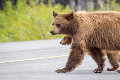 Cinnamon Bear and cub