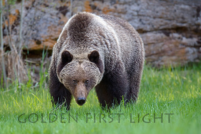 Grizzly Bear, Jasper National Park