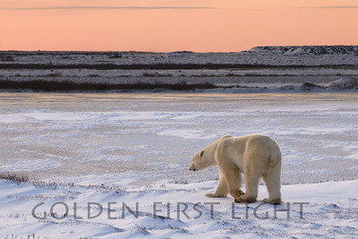 Polar Bear at sunset, Churchill Canada