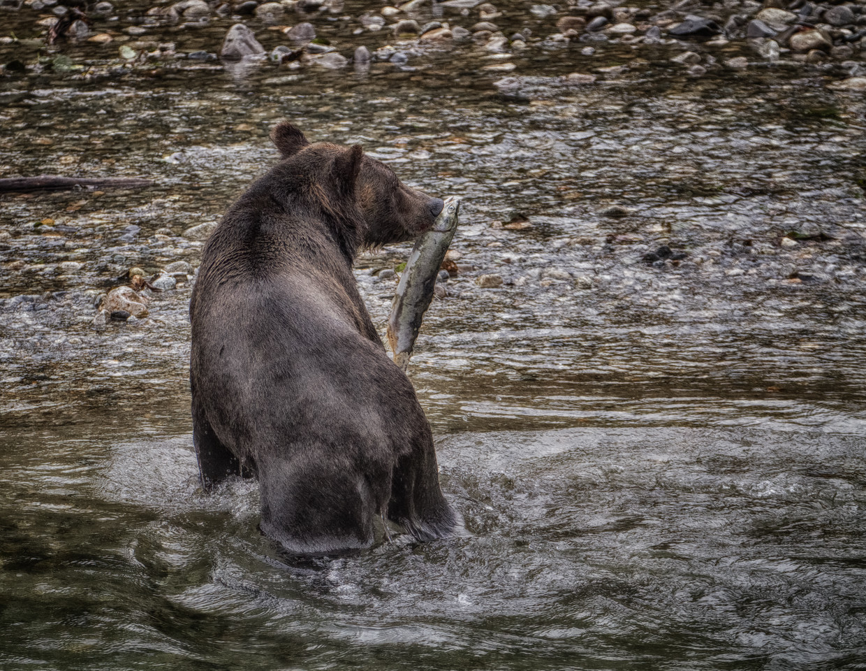 September 3, 2013: Used HDR processing with this one as well. It was common for the bears to leave the river on the far side from where we were standing and eat with their back to us. Guess it's a great way to guard their food - not that I would challenge them for it!!