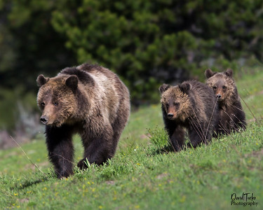 Grizzly Bear & Cubs
