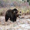 Bear walking in snow flakes