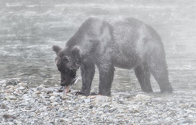 September 3, 2013: When this big boar came by our spot, it was raining and foggy, so - even though the image is in focus - there wasn't very much detail around his face. So, I decided to add even more fog and go for atmosphere.   The next image in this folder shows the exact same photo, but with a more painterly approach.