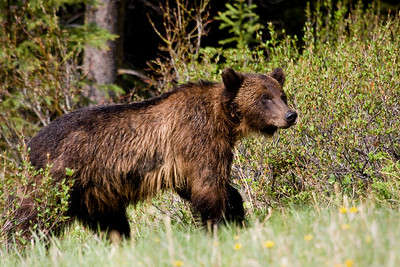 "Highway 40, from Longview, over Highwood Pass and into the heart of Kananaskis Country is closed for the winter.  It re-opens each spring on June 15th (that was today!).  One of the first people driving that section of road in 2009, I was treated to this grizzly, who was hanging out with a ""friend""."
