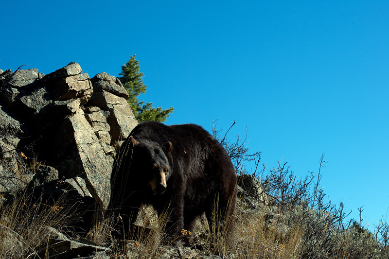 black bear by rocks