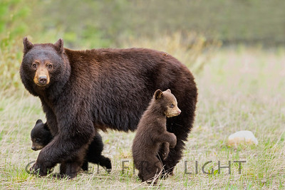 Black Bear and Two Cubs, Jasper National Park