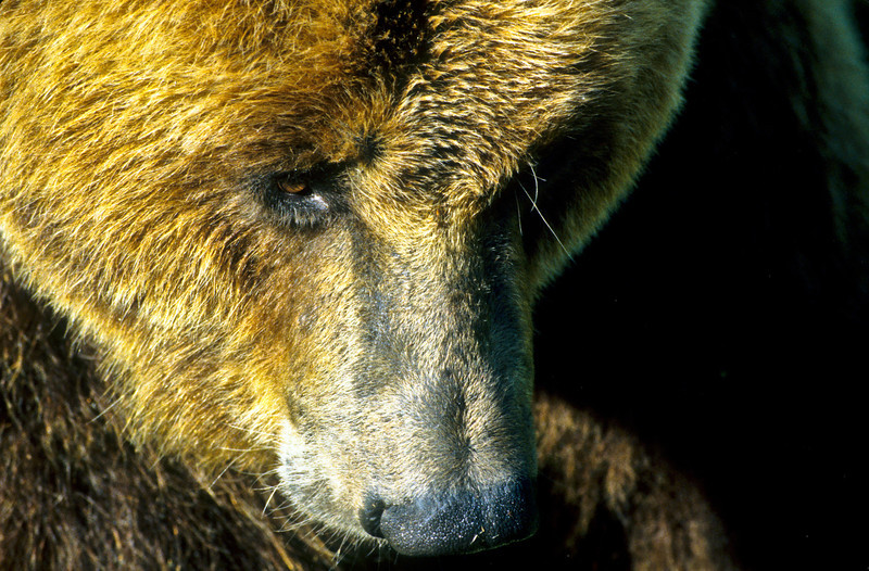 A beautiful and pensive grizzly.  His thoughts may be of blueberries, or perhaps Salmon.  He needs a quiet moment