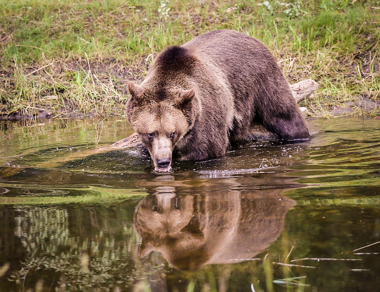 This grizzly bear was playing in a lake.  He would tear a tree down, break it in half, then throw it in the water.  He would then tear the pieces of the tree into small pieces of kindling, then repeat.  He was hugely powerful.