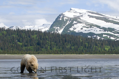 Alaska Brown Bear, Lake Clark National Park