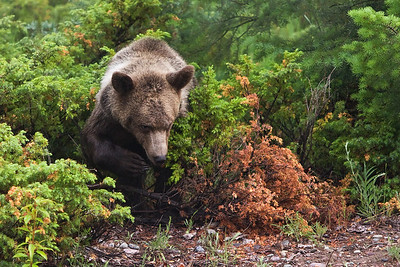 On a slightly overcast and misty day this young grizzly emerges from behind the vegetation.