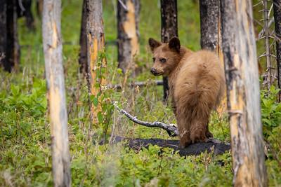 Cinnamon Bear Cub