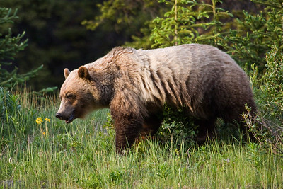 Sunday July 12, 2009: This grizzly bear - on HWY 40 in Peter Lougheed Provincial Park - south of Highwood Pass was feeding on vegetation, grubs and insects.