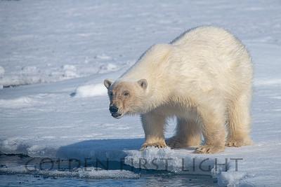 Female Polar Bear, Svalbard