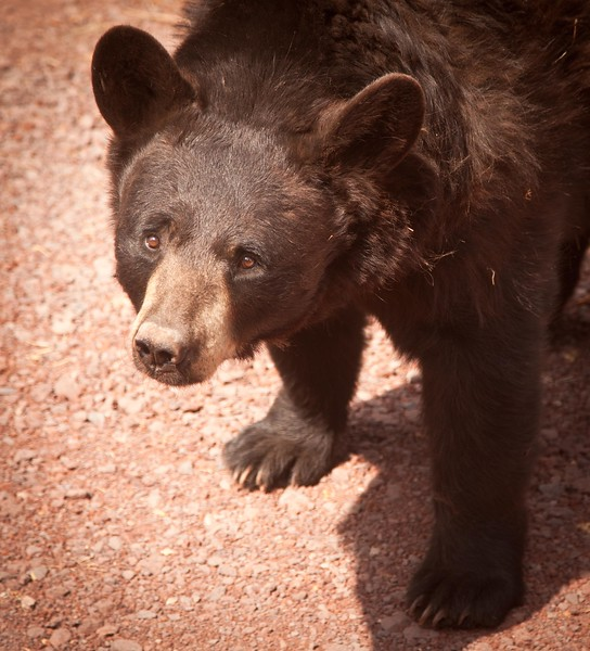 Here is a very friendly young female cinnamon bear at Bearizona.  When she stands up she is taller than I am.  As I looked into her eyes I wanted to give her a big hug (bear hug?) and a snack, but she might turn me into the snack.
