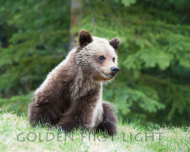 15 Month Old Grizzly Cub, Jasper National Park