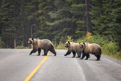Grizzly Bear Family