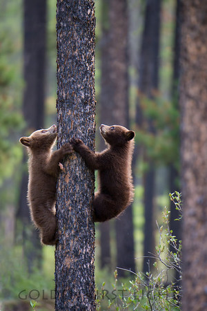 Cinnamon Black Bear Cubs, Jasper National Park