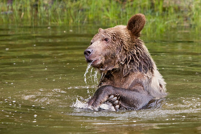 Young grizzly playing in a pond. (captive)