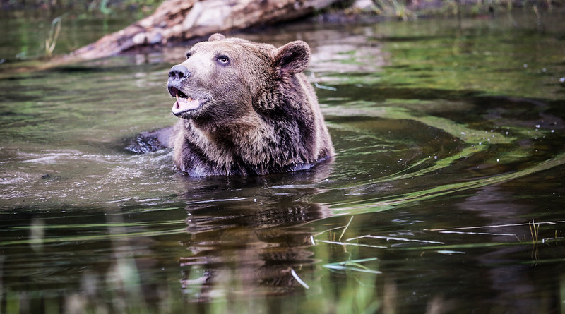 Immensely powerful grizzly bear (captive) playing in a lake.
