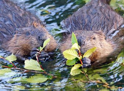 Beaver 47
