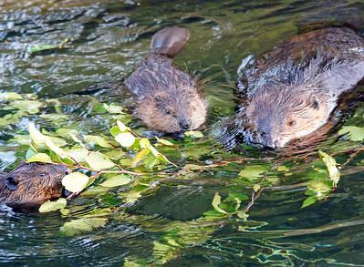 Beaver 46