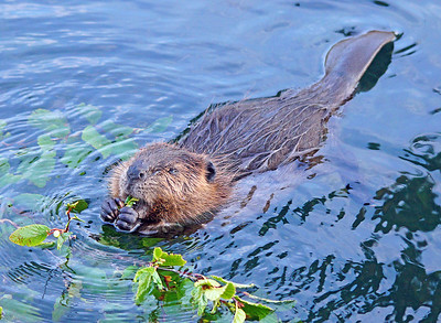 Beaver 44