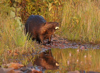 Beaver 21