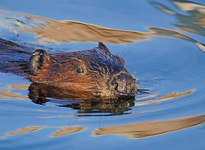 Beaver 26